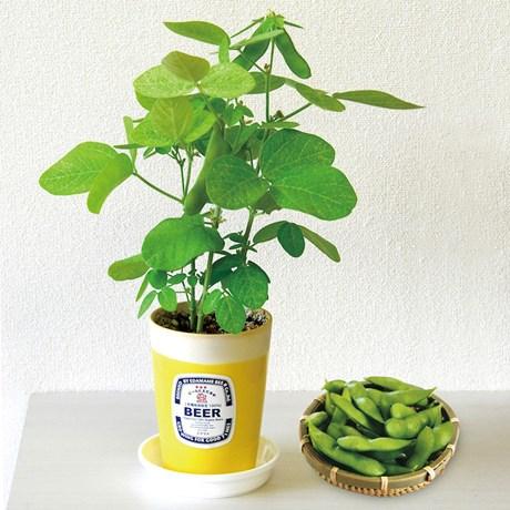 Odlingsset – Edamame Cultivation Kit Grön